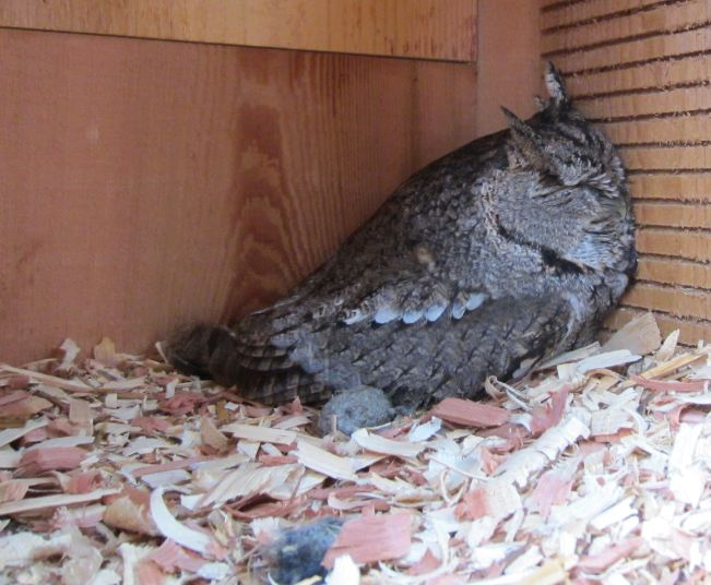 Here is a photo of the other Eastern Screech-owl that Jeff and Jill Kennard found.