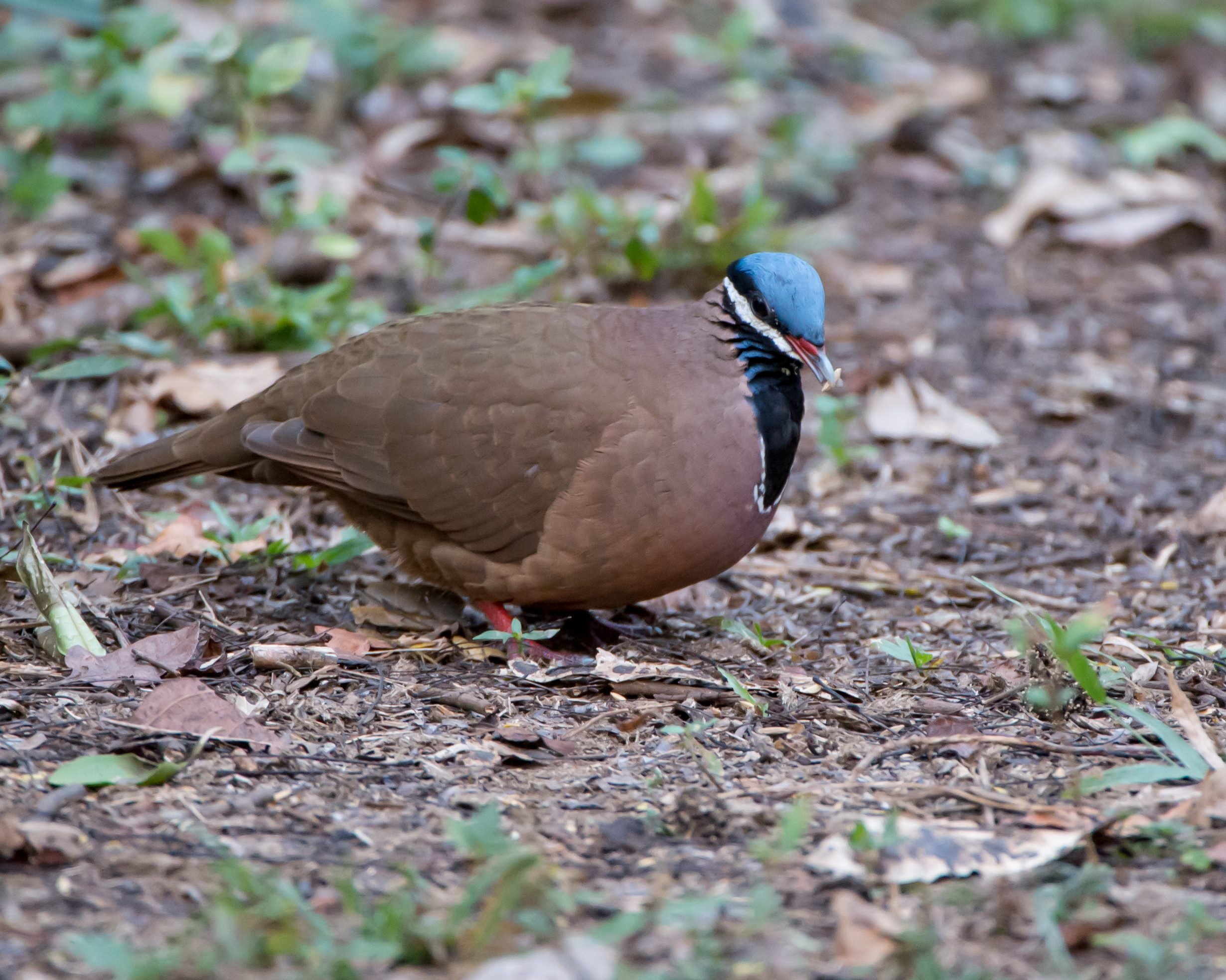 The Blue-headed Quail-dove is an endangered species that only lives in Cuba.