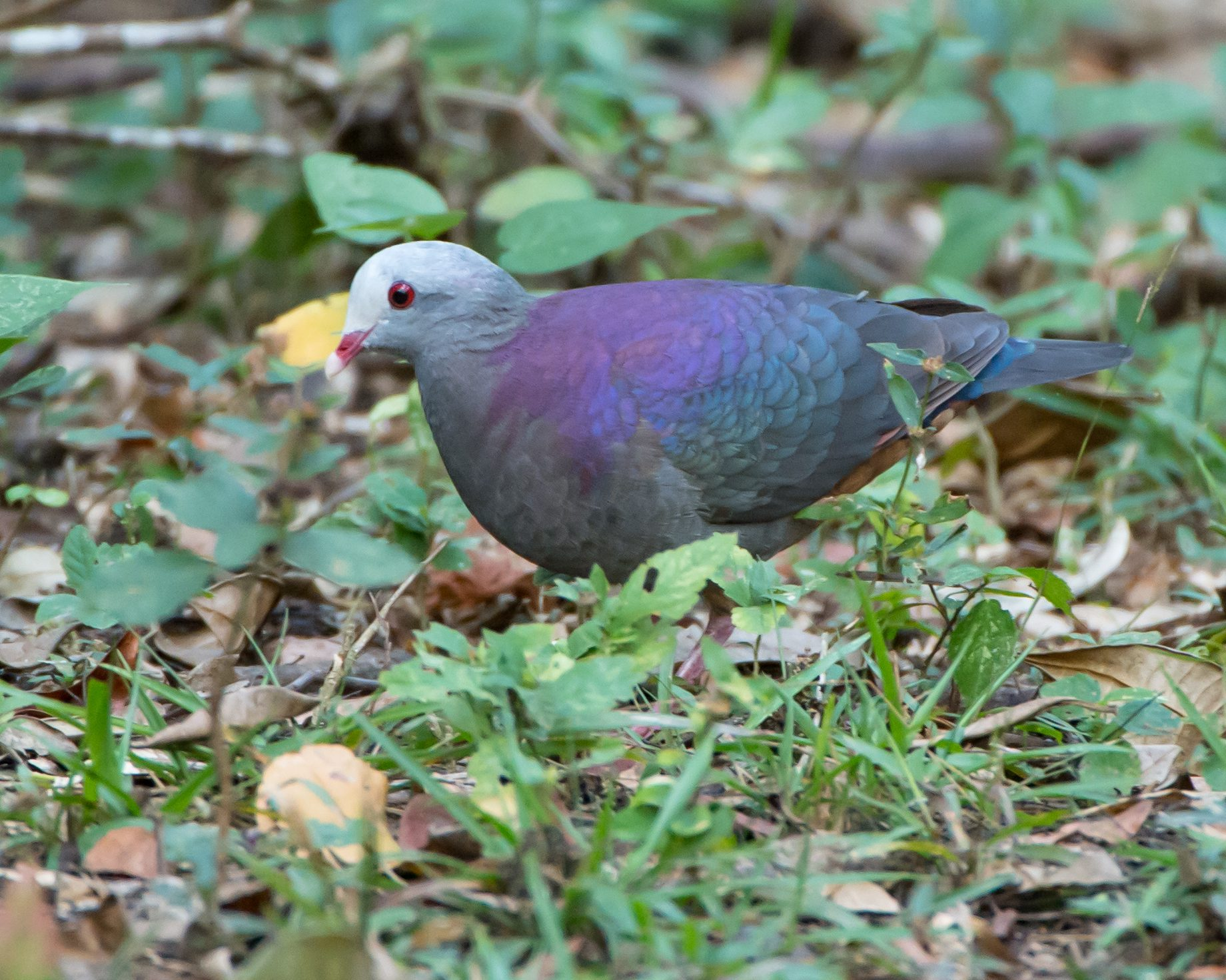 This plump species of Quail-dove is another beauty.  It's population, which only lives in Cuba, considered threatened and vulnerable.