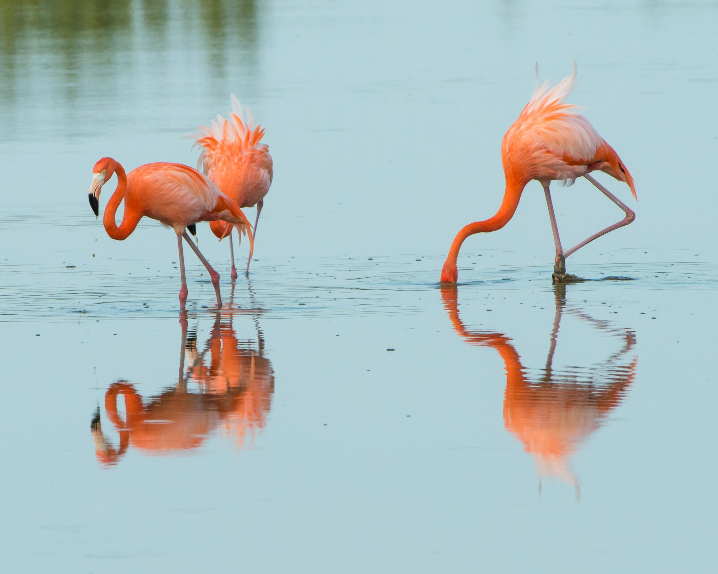 The American Flamingo is always a popular bird to see in the wild.  It is the only Flamingo that lives in North America.