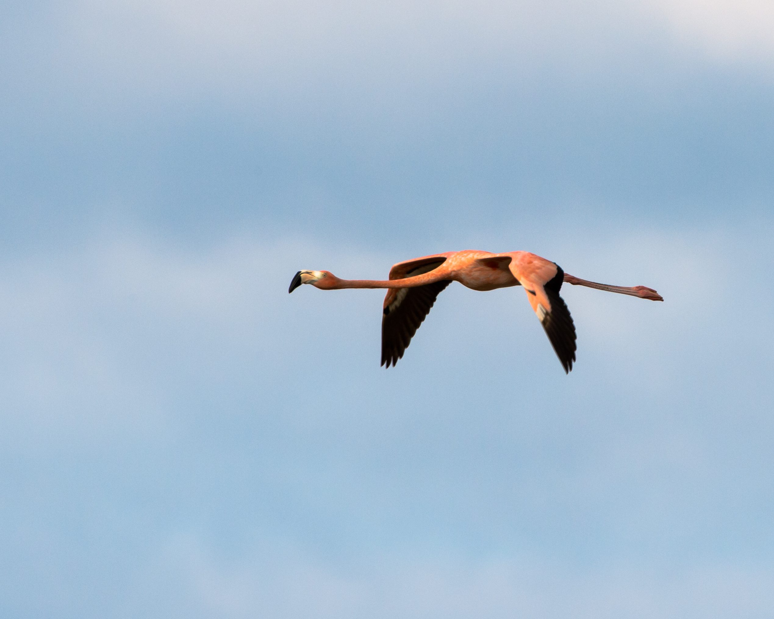 2-15-13 Cayo Coco - Greater Flamingo-614-2