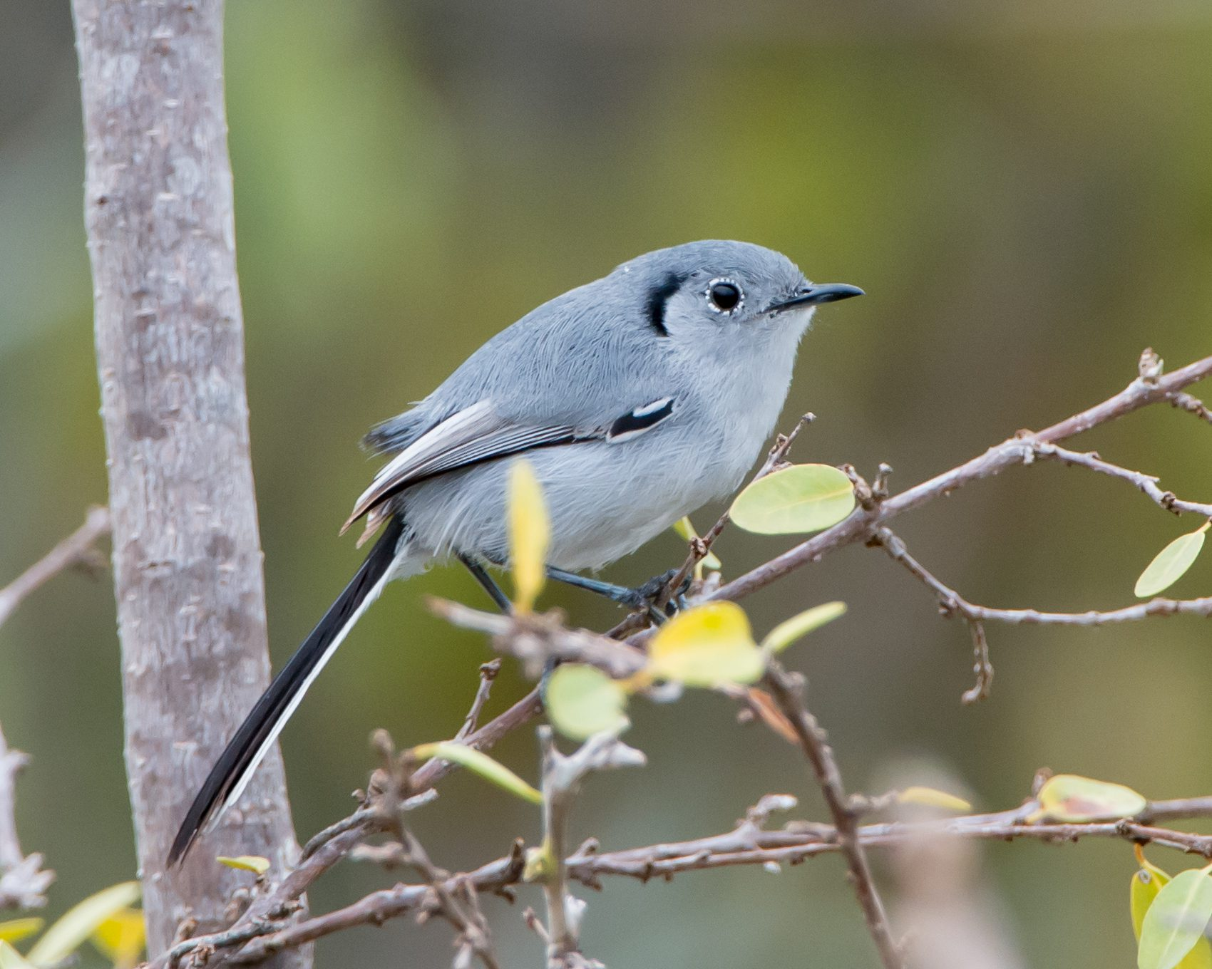 The Cuban Gnatcatcher is endemic to eastern Cuba.  It is similar to our Blue-gray Gnatcatcher, but smaller.