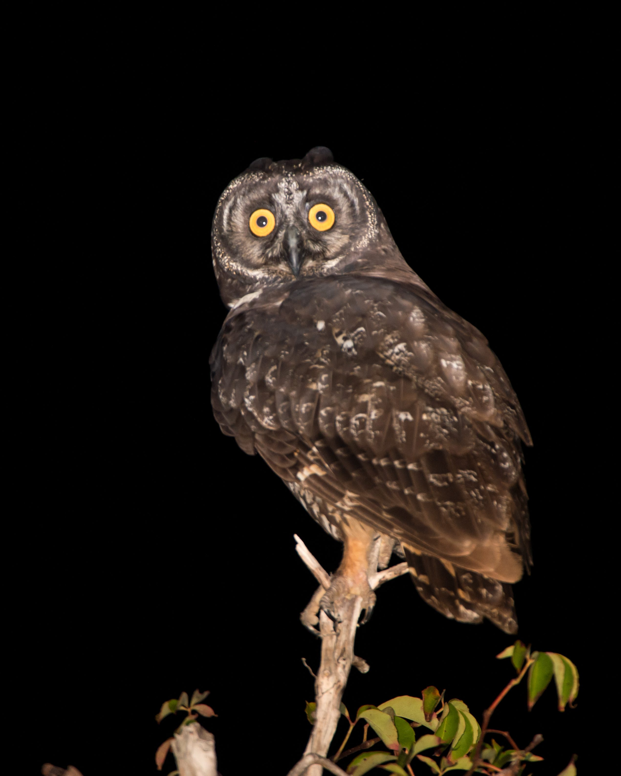 Stygian Owl is a rare sight on Cuba, where it is an endangered species.  It is commonly killed on the island, since many people consider it a bad omen.