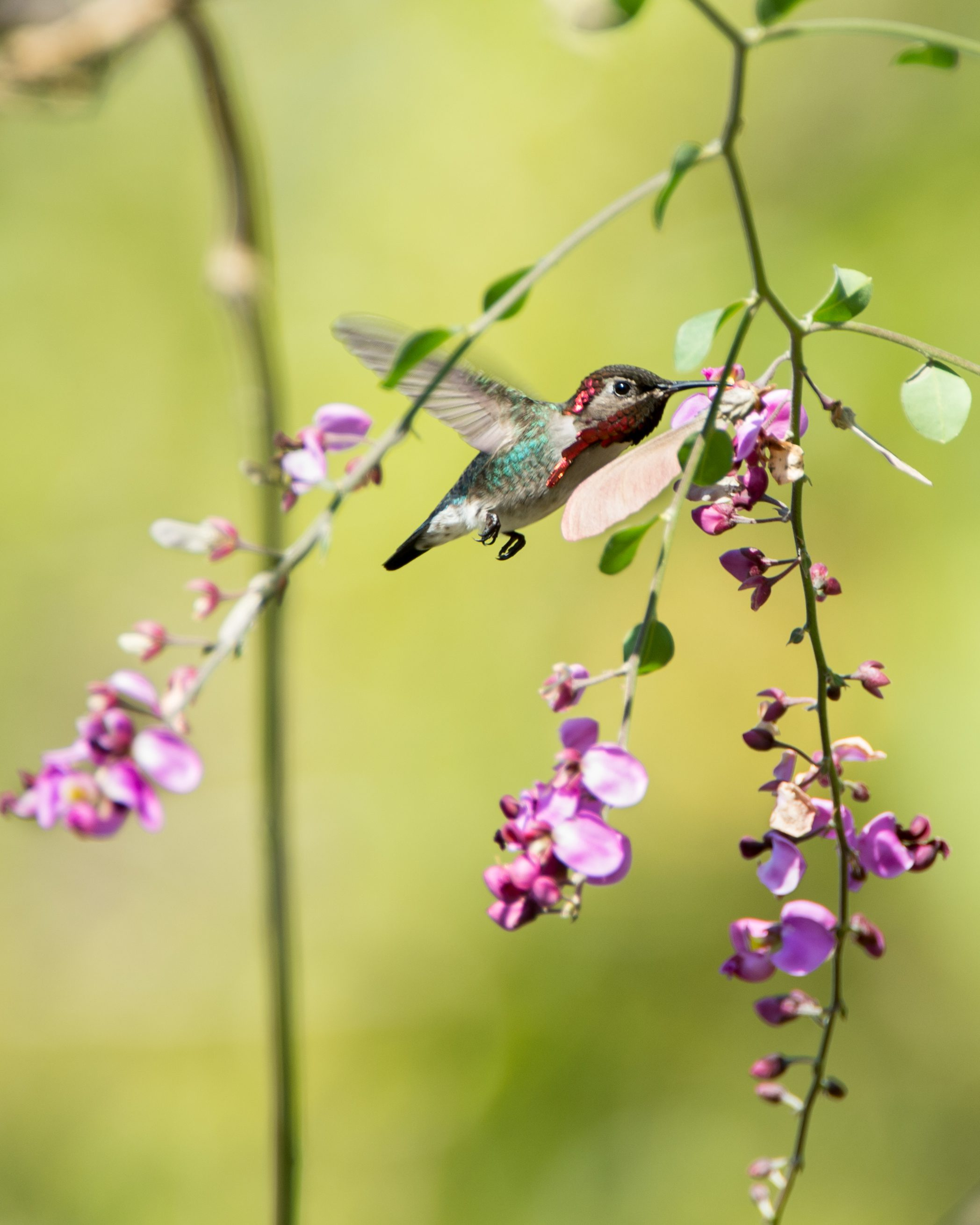 The Bee Hummingbird is considered &quot;near threatened&quot; and has a spotty distribution in Cuba, the only place it lives in the world.