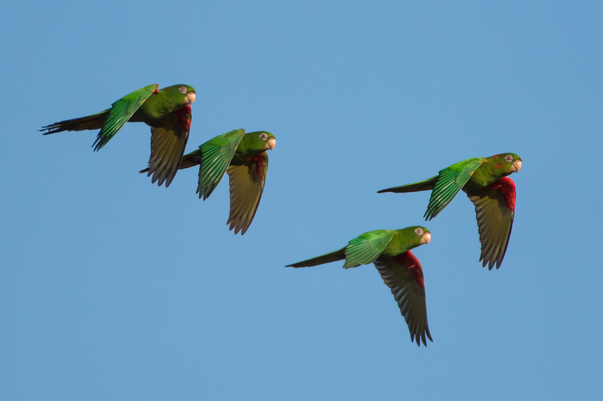 Cuban Parakeets are a rare sight in Cuba, the only place they live in the world.