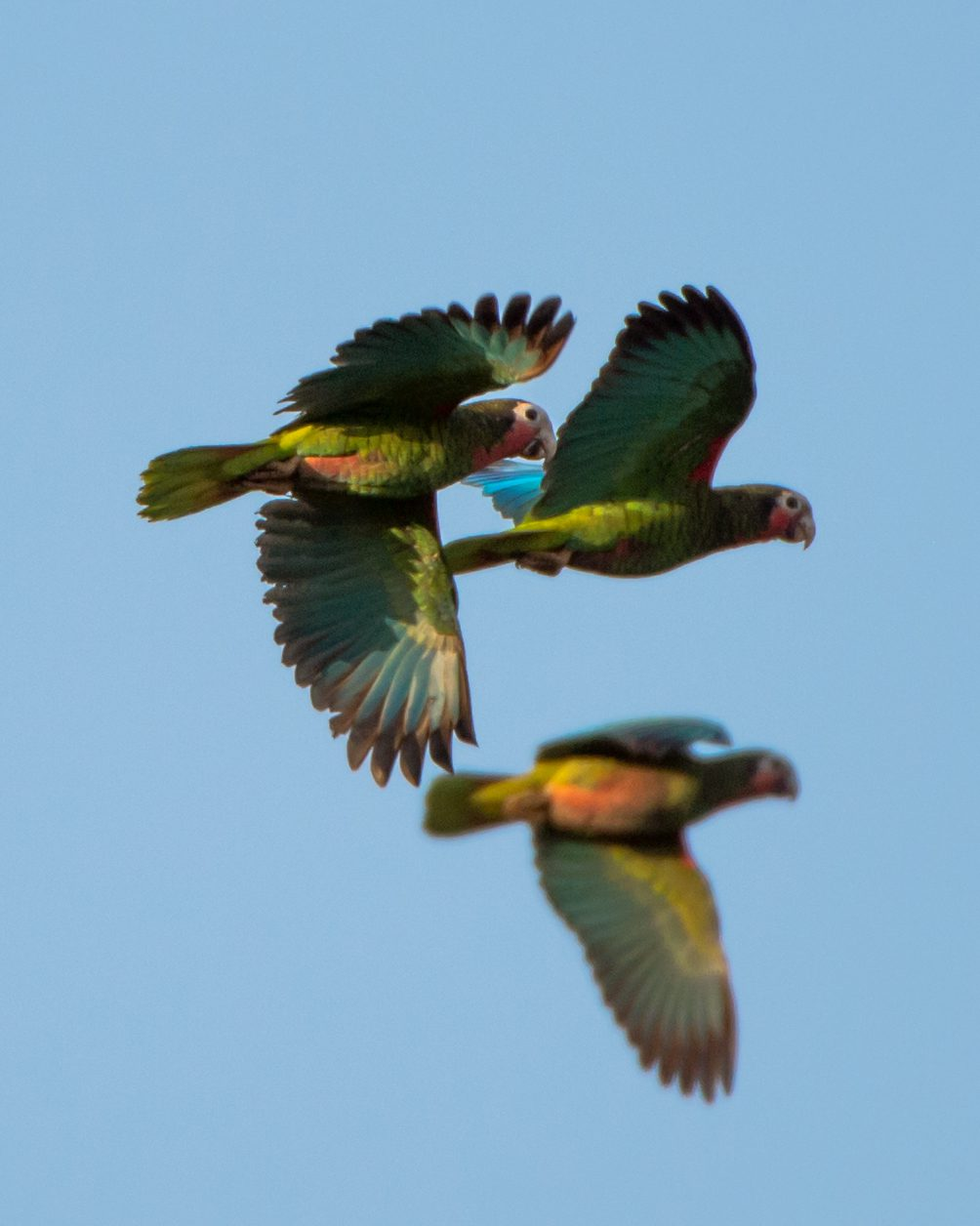 Cuban Parrots are beautiful, noisy, and &quot;near threatened&quot; due to habitat loss and collection for the pet trade.