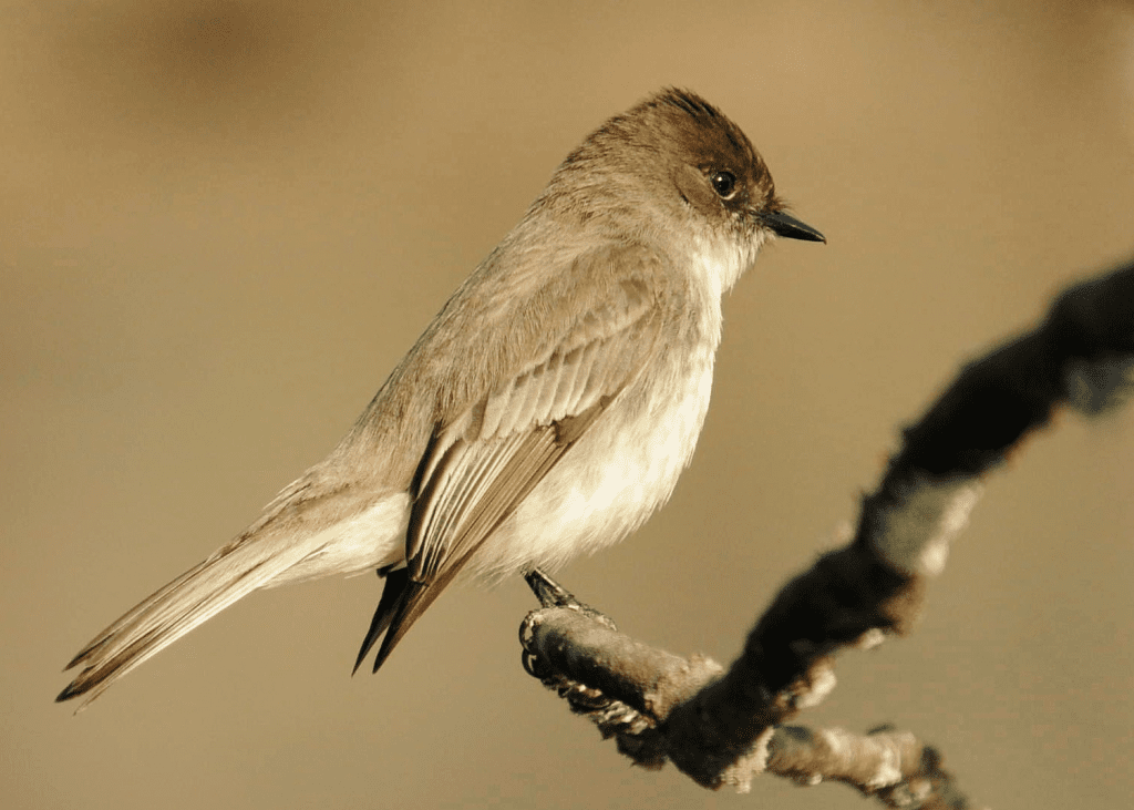 Eastern Phoebes are back and calling loudly from locations along the Red Clay Creek at Ashland.  Photo by Derek Stoner.
