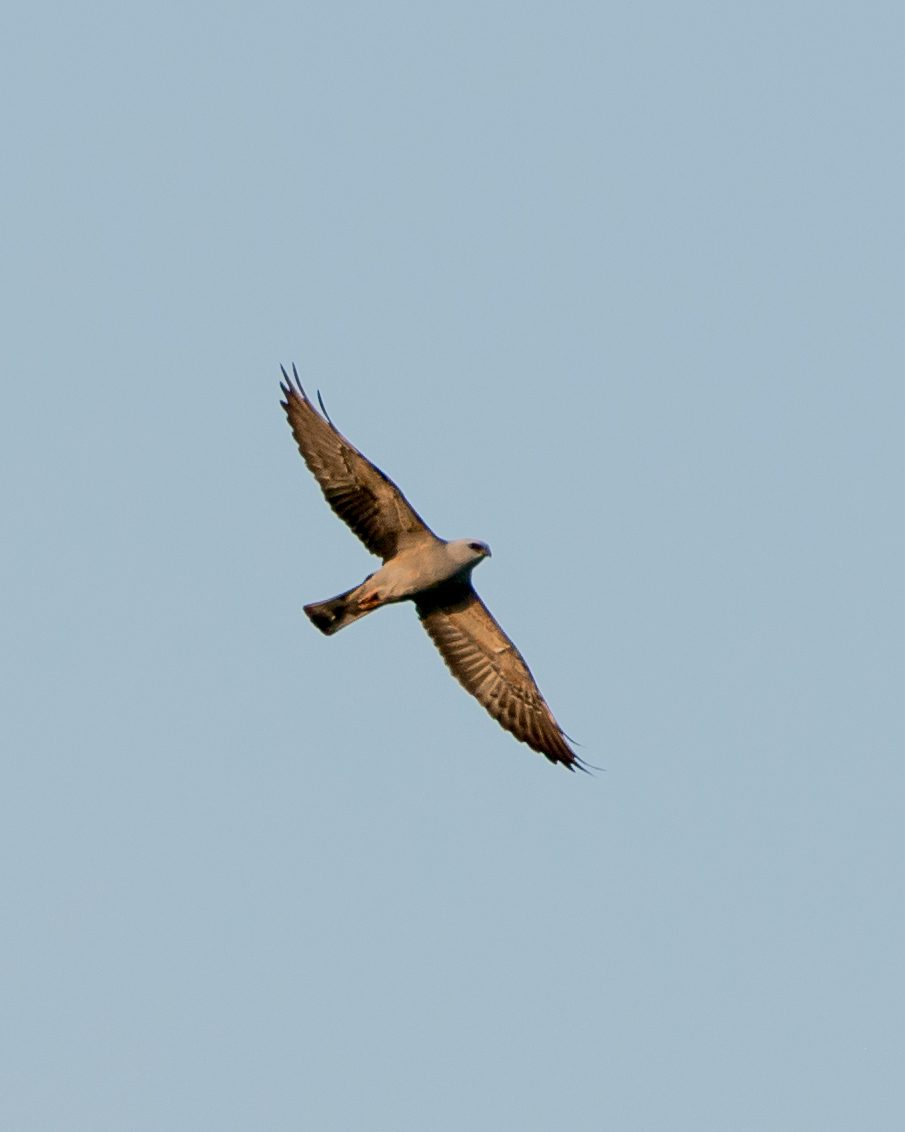 Two Mississippi Kites were seen flying over Bucktoe Creek Preserve during the shorebird/kite watch.  Photo by Hank Davis.