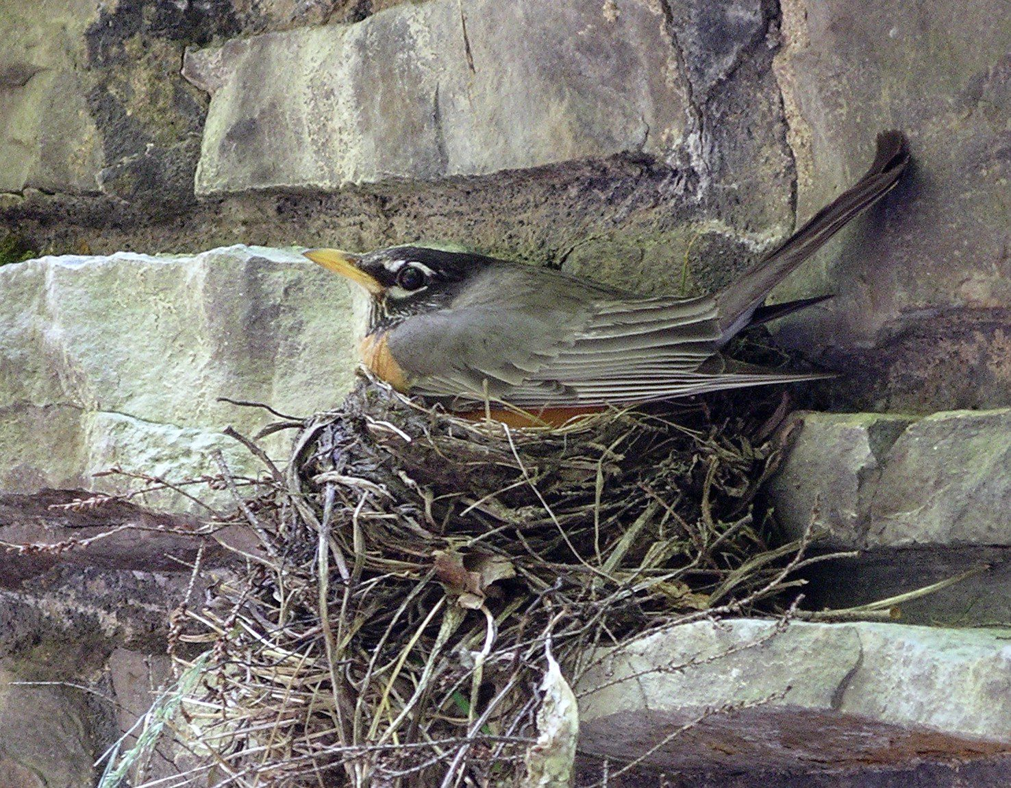 American Robin start nesting activities in April.  The ones on my shutter are starting to incubate their eggs.  Photo by Joe Sebastiani