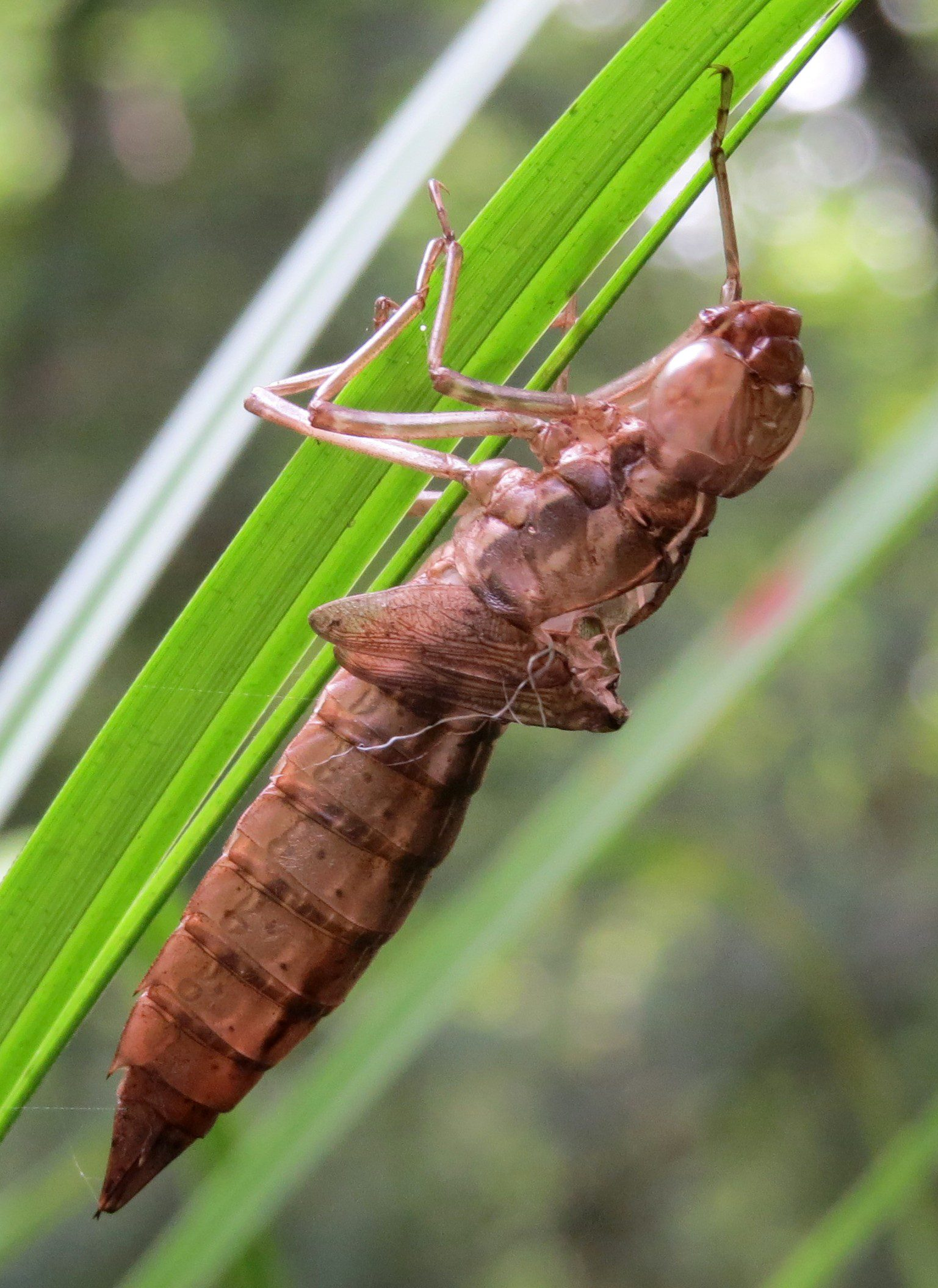 Here is a skin of a dragonfly that had emerged recently from a small wetland near the Lums Pond Nature Center.  It is kind of like a cicada skin on a tree.  Photo by Joe Sebastiani.