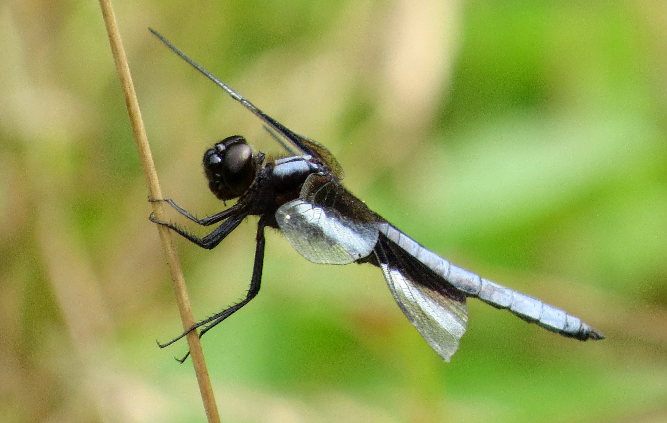 Widow Skimmers are abundant in our area during the summer.  We get lucky sometimes I guess, since they are one of the more colorful and beautiful of our dragonflies (in my opinion!).  Photo by Joe Sebastiani
