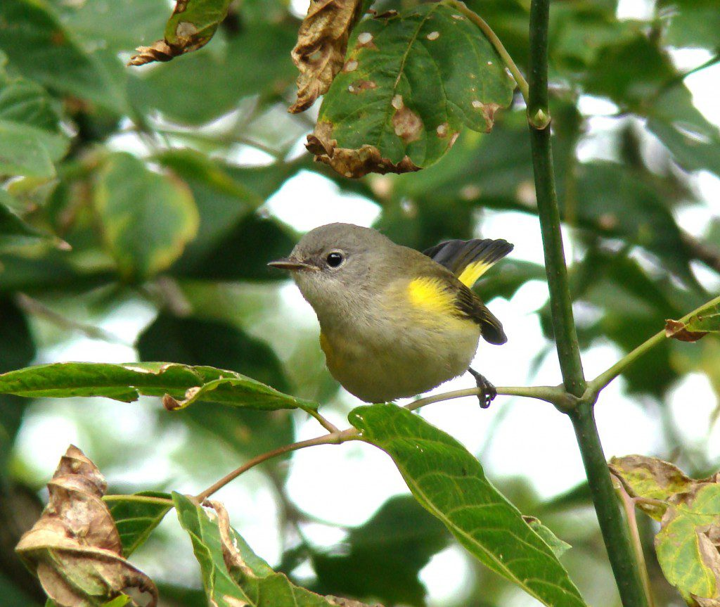 Get help identifying this beauty in The Warbler Guide.  Photo by Joe Sebastiani
