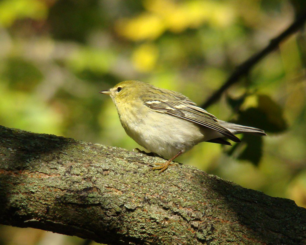 What about this confusing one?  The Warbler Guide is your go-to guide.  Photo by Joe Sebastiani