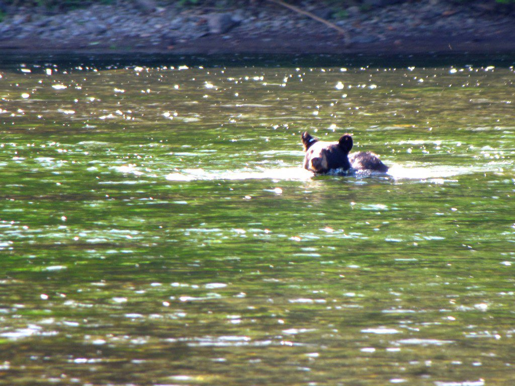 So what exactly do you do when a Black Bear swims towards you? Photo by Dan Kenney.